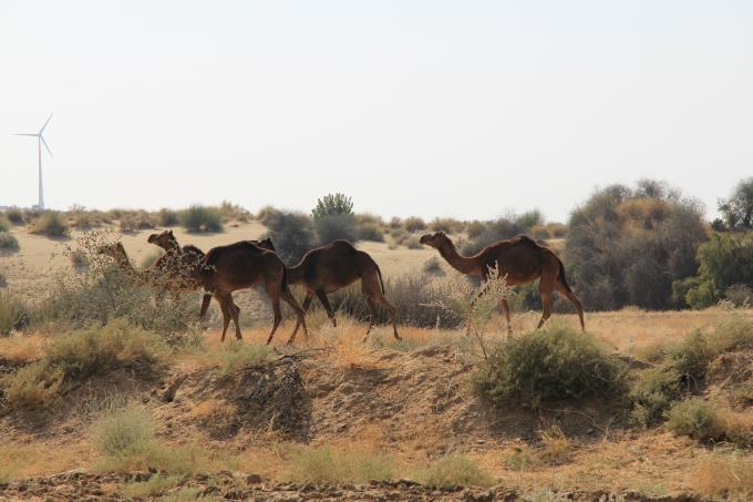 Tour Rajasthan - Camel Safari : tour,travel, rajhastan, safari, camel, india, north india